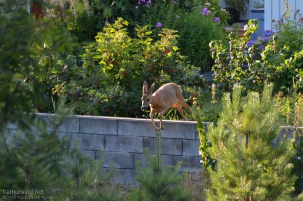 Rådyr i naboens hage