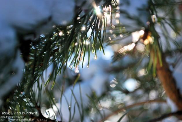 Sola skinner i vanndråper på furunåler.