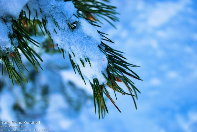 Snø på furukvist