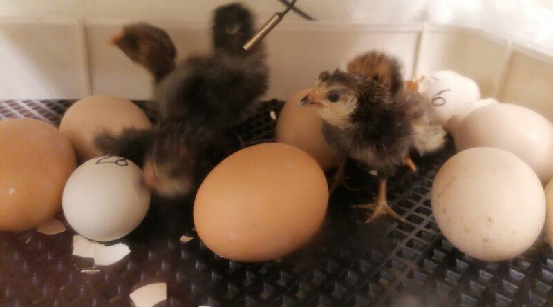 Kyllinger - Eggklekking 2021